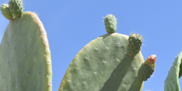 https://goodbubble.co.uk/uploads/images/Prickly-Pear.png